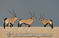 Gemsbok Oryx gazella photo