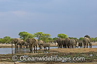 African Elephant Loxodonta africana photo