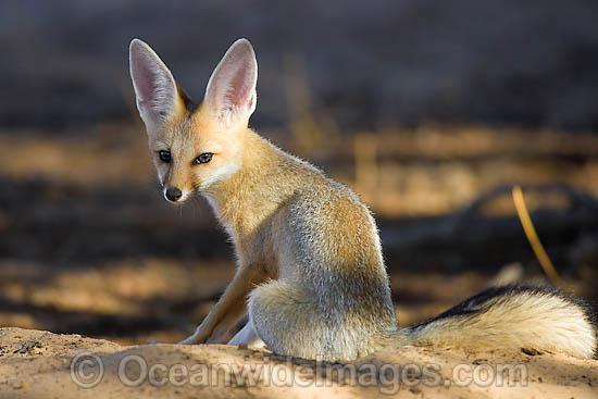 Fennec Desert Fox Fenn...