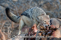 Jackal feeding on zebra carcass Photo - Chris and Monique Fallows