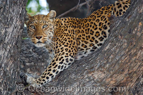 African Leopard (Panthera pardus pardus), in a tree. Serengeti, Tanzania, Africa Photo - Chris and Monique Fallows