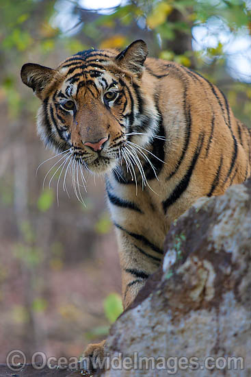 Bengal Tiger (Panthera tigris tigris). Also known as Royal Bengal Tiger. Found in India, Bangladesh, Nepal and Bhutan. Listed on the IUCN Red List as a Threatened Species. Photo - Chris and Monique Fallows