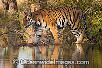 Bengal Tiger Photo - Chris and Monique Fallows