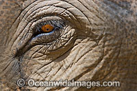 Indian Elephant eye photo