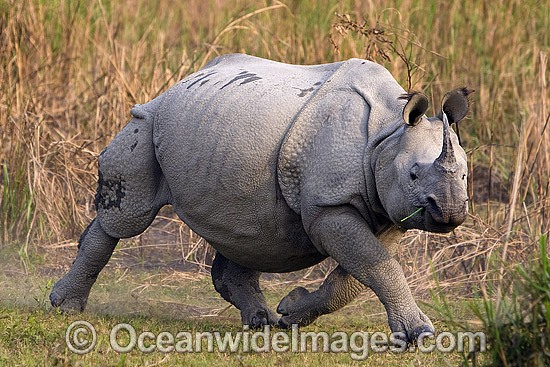Indian Rhinoceros (Rhinoceros unicornis). Also known as Great One-horned Rhinoceros and Asian One-horned Rhinoceros. Found inhabiting grasslands and forests of north-eastern India and Nepal Photo - Chris and Monique Fallows