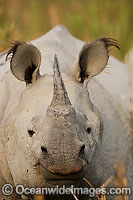 Indian Rhinoceros Rhinoceros unicornis image