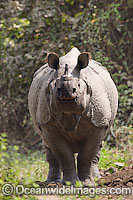 Indian Rhinoceros image