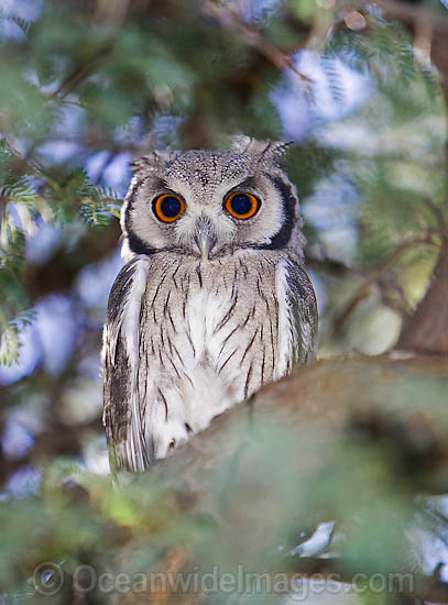 Southern White-faced Owl (Ptilopsis granti). Found throughout the southern half of Africa Photo - Chris and Monique Fallows