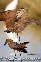 Hamerkop Scopus umbretta Photo - Chris and Monique Fallows