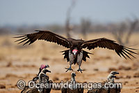 Lappet Faced Vulture Torgos tracheliotus Photo - Chris and Monique Fallows