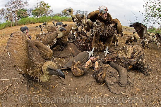 Lappet Faced Vulture (Torgos tracheliotus), feeding on Elephant remains. Linyanti, Botswana, Southern Africa Photo - Chris and Monique Fallows