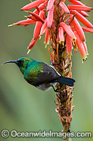 Lessor Double-collared Sunbird Photo - Chris and Monique Fallows