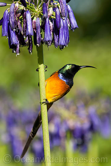 Orange-breasted Sunbird (Anthobaphes violacea). Photo taken at Kirstenbosch Gardens, Cape Town, South Africa Photo - Chris and Monique Fallows