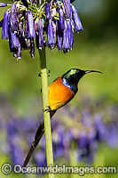 Orange-breasted Sunbird Anthobaphes violacea Photo - Chris and Monique Fallows