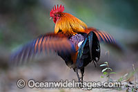 Red Junglefowl Gallus gallus photo