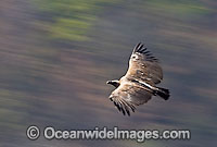 Indian Vulture Gyps indicus photo