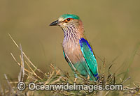 Indian Roller Coracias benghalensis photo
