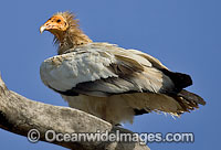 Egyptian Vulture Neophron percnopterus photo