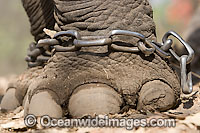 Indian Elephant shackled Photo - Chris and Monique Fallows