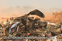 Wildlife scavenging at dumpsite Photo - Chris and Monique Fallows