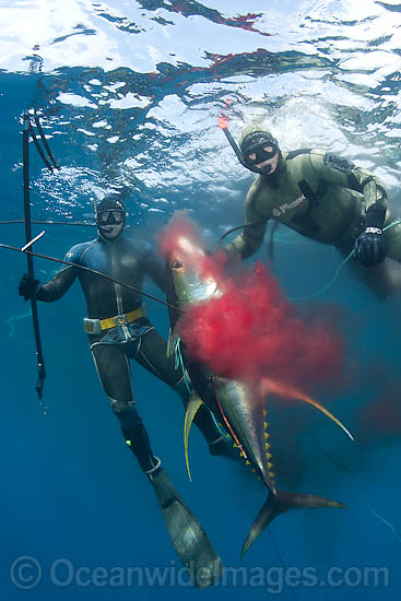 Spearfishermen with a speared Yellowfin Tuna (Thunnus albacares). Photo taken off Cape Point, South Africa