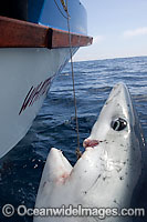Shark caught in longline Photo - Chris and Monique Fallows
