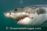 Great White Shark with fishing hook Photo - Chris and Monique Fallows