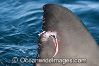 Great White Shark with damaged fin Photo - Chris and Monique Fallows