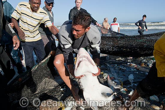 Local fisherman releasing a Ragged-tooth Shark (Carcharias taurus), also known as Sand Tiger Shark and Grey Nurse Shark, from a beach seine net. Photo taken in False Bay, South Africa Photo - Chris and Monique Fallows
