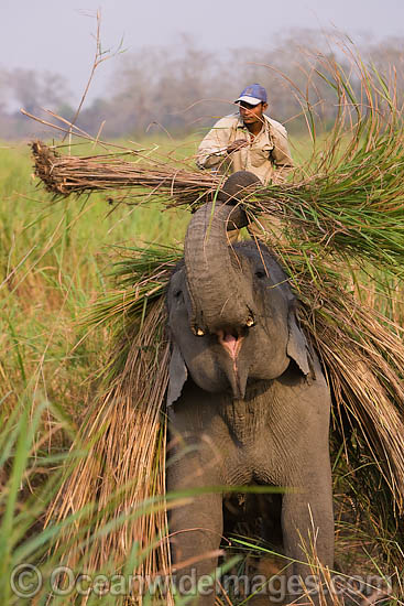 Farmer with working Indian Elephant (Elephas maximus indicus). India Photo - Chris and Monique Fallows