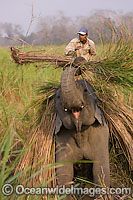 Indian Elephant farming photo