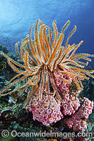 Crinoid Feather Stars on corals photo