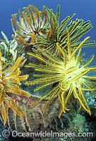 Feather Stars Photo - Gary Bell