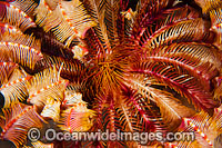 Crinoid Feather Stars Photo - Gary Bell