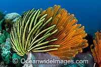 Feather Stars on barrel sponge Photo - Gary Bell