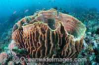 Barrel Sponge Xestospongia testudinaria photo