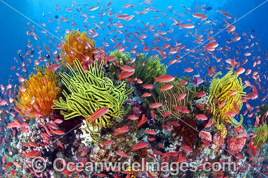 Colourful tropical reef scene, showing schooling Orange Fairy Basslets (Pseudanthias cf cheirospilos), feeding on plankton drifting through reef with crinoid feather stars. Typical reef scene found throughout Indo Pacific, including Great Barrier Reef. Photo - Gary Bell