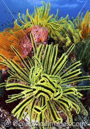 Colourful tropical reef scene, showing a coral reef decorated in Crinoid Feater Stars (Oxycomanthus bennetti). A typical reef scene found through Indo Pacific, including Great Barrier Reef.