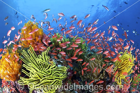 Colourful tropical reef scene, showing schooling Orange Fairy Basslets (Pseudanthias cf cheirospilos), feeding on plankton drifting through reef with crinoid feather stars. Typical reef scene found throughout Indo Pacific, including Great Barrier Reef.
