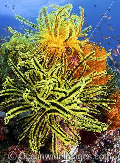 Colourful tropical reef scene, showing a coral reef decorated in Crinoid Feather Stars (Oxycomanthus bennetti). A typical reef scene found through Indo Pacific, including Great Barrier Reef.