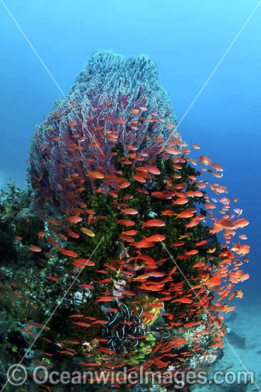 Colourful tropical reef scene, showing schooling Orange Fairy Basslets (Pseudanthias cf cheirospilos),sheltering near a Barrel Sponge (Xestospongia testudinaria). A typical reef scene found throughout Indo Pacific, including the Great Barrier Reef.