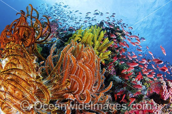 Colourful tropical reef scene, showing schooling Orange Fairy Basslets (Pseudanthias cf cheirospilos), feeding on plankton drifting through reef with crinoid feather stars. Typical reef scene found throughout Indo Pacific, including the Great Barrier Reef Photo - Gary Bell