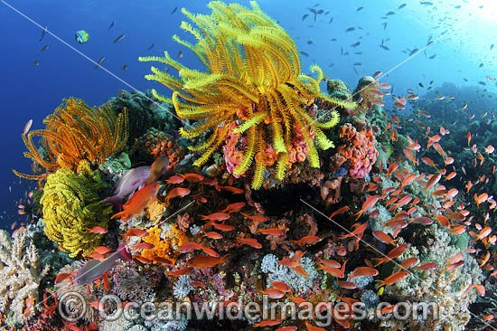 Colourful tropical reef scene, showing schooling Orange Fairy Basslets (Pseudanthias cf cheirospilos), sheltering amongst a reef with crinoid feather stars. A typical reef scene found throughout Indo Pacific, including the Great Barrier Reef.
