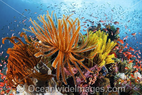 Colourful tropical reef scene, showing schooling Orange Fairy Basslets (Pseudanthias cf cheirospilos), feeding on plankton drifting through reef with crinoid feather stars. A typical reef scene found in Indo Pacific, including the Great Barrier Reef.