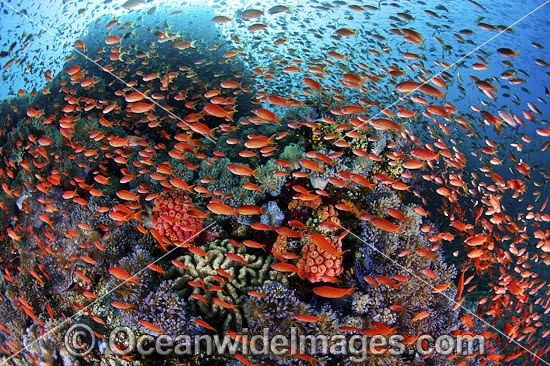 Colourful tropical reef scene, showing countless schooling Orange Fairy Basslets (Pseudanthias cf cheirospilos), feeding on plankton drifting through a coral reef. A typical reef scene found throughout Indo Pacific, including the Great Barrier Reef
