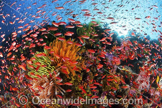Colourful tropical reef scene, showing schooling countless Orange Fairy Basslets (Pseudanthias cf cheirospilos), feeding on plankton drifting through reef with crinoid feather stars. Typical reef scene found in Indo Pacific, including Great Barrier Reef.
