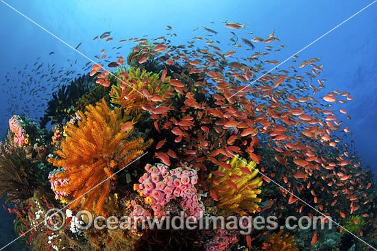 Colourful tropical reef scene, showing schooling Orange Fairy Basslets (Pseudanthias cf cheirospilos), feeding on plankton drifting through reef with crinoid feather stars. Typical reef scene found throughout Indo Pacific, including the Great Barrier Reef