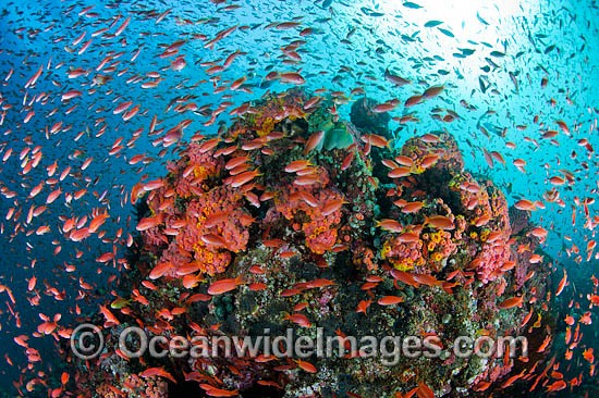Colourful tropical reef scene, showing countless schooling Orange Fairy Basslets (Pseudanthias cf cheirospilos), feeding on plankton drifting through a coral reef. A typical reef scene found throughout Indo Pacific, including the Great Barrier Reef.