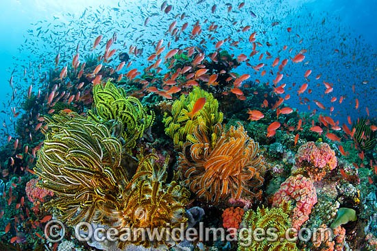 Colourful tropical reef scene, showing schooling Orange Fairy Basslets (Pseudanthias cf cheirospilos), feeding on plankton drifting through reef with crinoid feather stars. A typical reef scene found throughout Indo Pacific, including Great Barrier Reef.