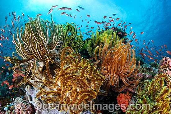 Colourful tropical reef scene, showing schooling Orange Fairy Basslets (Pseudanthias cf cheirospilos), feeding on plankton drifting through reef with crinoid feather stars. Typical reef scene found through Indo Pacific, including the Great Barrier Reef. Photo - Gary Bell